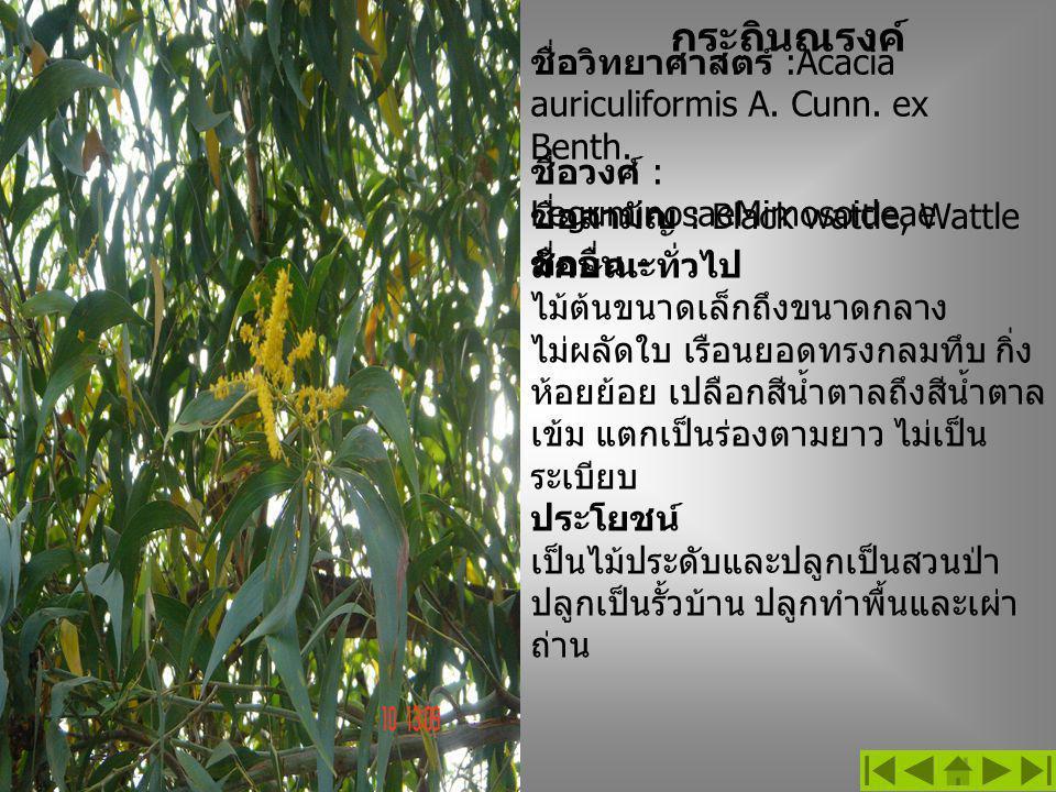 ชื่อวิทยาศาสตร์ :Acacia auriculiformis A. Cunn. ex Benth. ลักษณะทั่วไป ไม้ต้นขนาดเล็กถึงขนาดกลาง ไม่ผลัดใบ เรือนยอดทรงกลมทึบ กิ่ง ห้อยย้อย เปลือกสีน้ำ