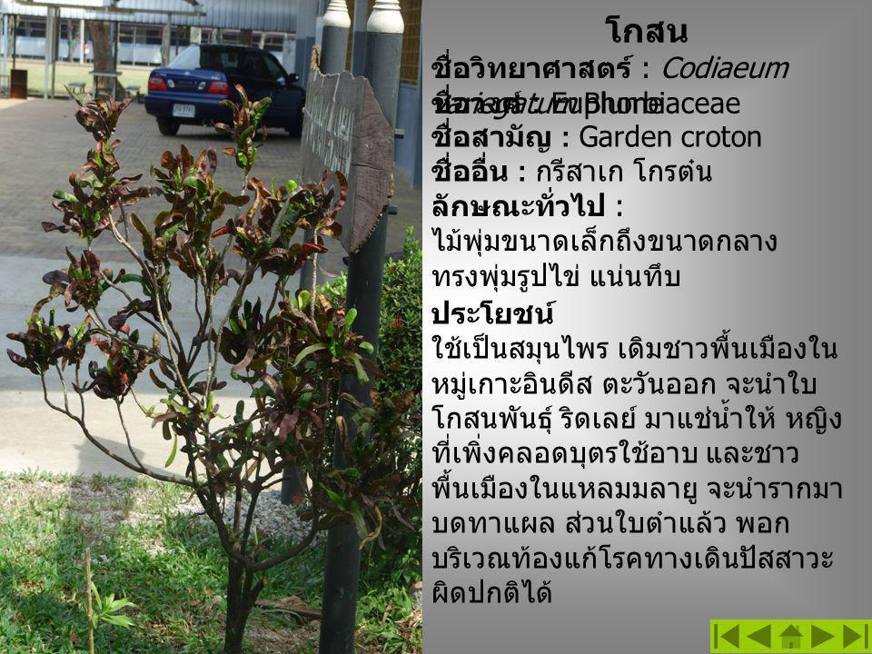 โกสน ชื่อวิทยาศาสตร์ : Codiaeum variegatum Blume ลักษณะทั่วไป : ไม้พุ่มขนาดเล็กถึงขนาดกลาง ทรงพุ่มรูปไข่ แน่นทึบ ชื่อวงศ์ : Euphorbiaceae ชื่อสามัญ : Garden croton ชื่ออื่น : กรีสาเก โกรต๋น ประโยชน์ ใช้เป็นสมุนไพร เดิมชาวพื้นเมืองใน หมู่เกาะอินดีส ตะวันออก จะนำใบ โกสนพันธุ์ ริดเลย์ มาแช่น้ำให้ หญิง ที่เพิ่งคลอดบุตรใช้อาบ และชาว พื้นเมืองในแหลมมลายู จะนำรากมา บดทาแผล ส่วนใบตำแล้ว พอก บริเวณท้องแก้โรคทางเดินปัสสาวะ ผิดปกติได้