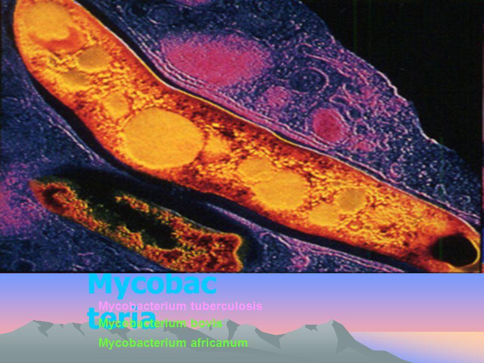 Mycobac teria Mycobacterium tuberculosis Mycobacterium bovis Mycobacterium africanum