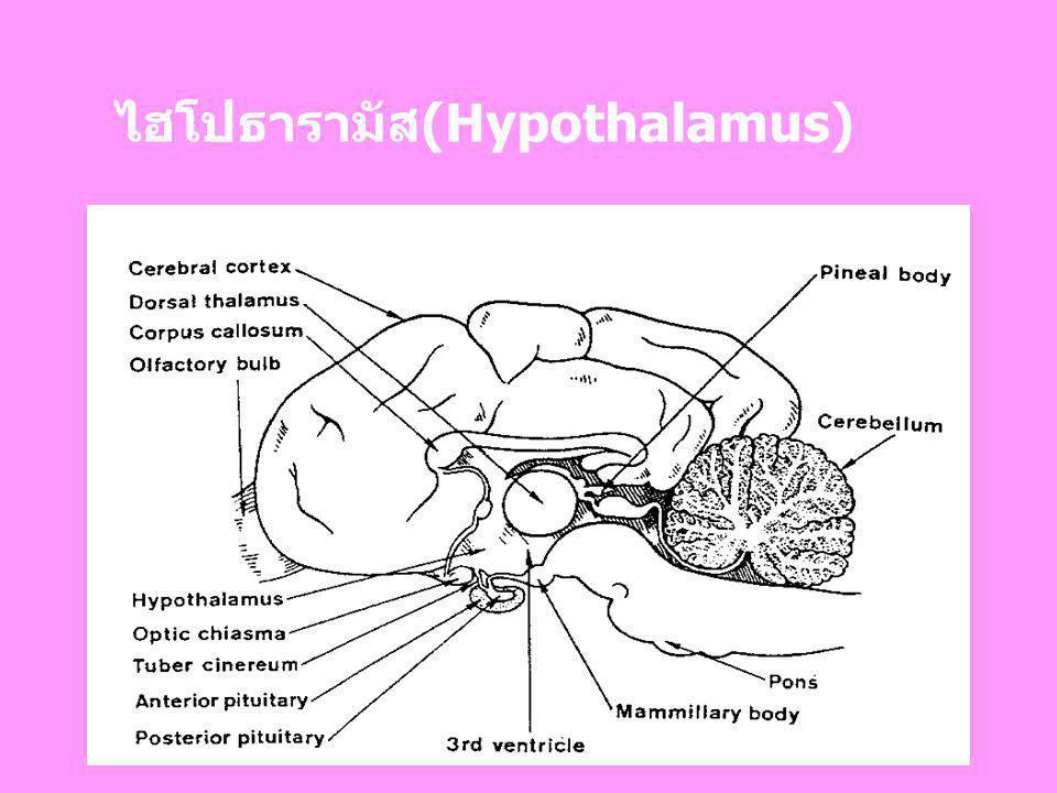 ไฮโปธารามัส(Hypothalamus)