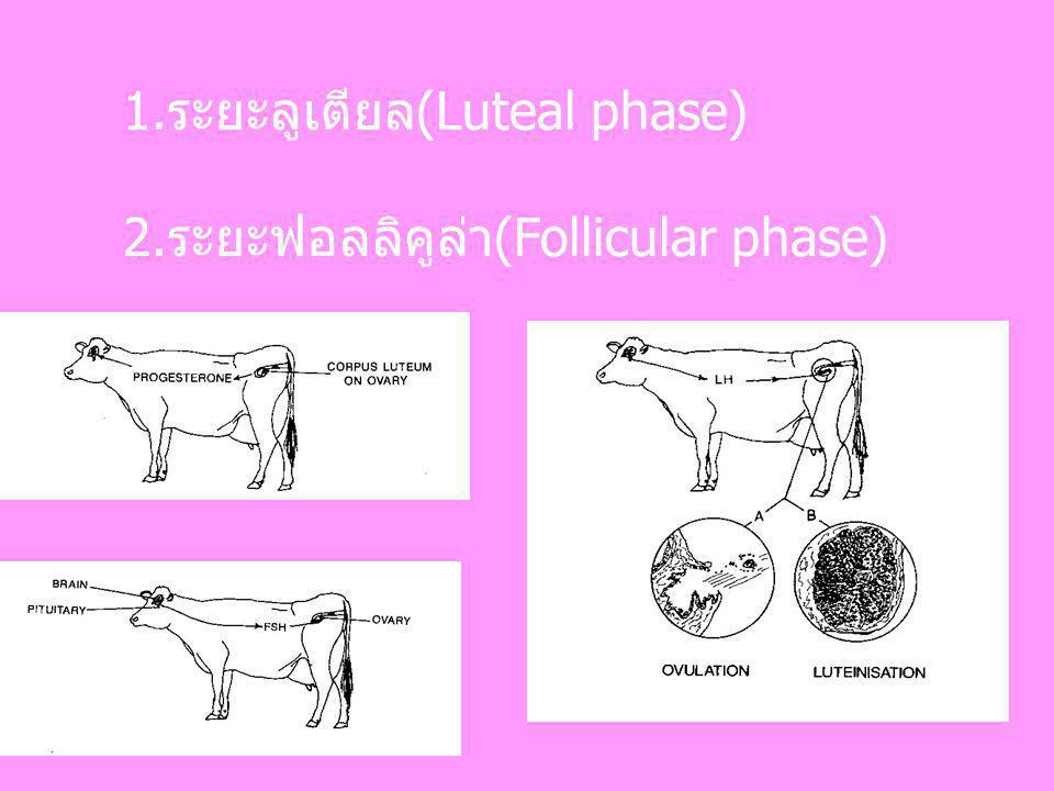1.ระยะลูเตียล(Luteal phase) 2.ระยะฟอลลิคูล่า(Follicular phase)