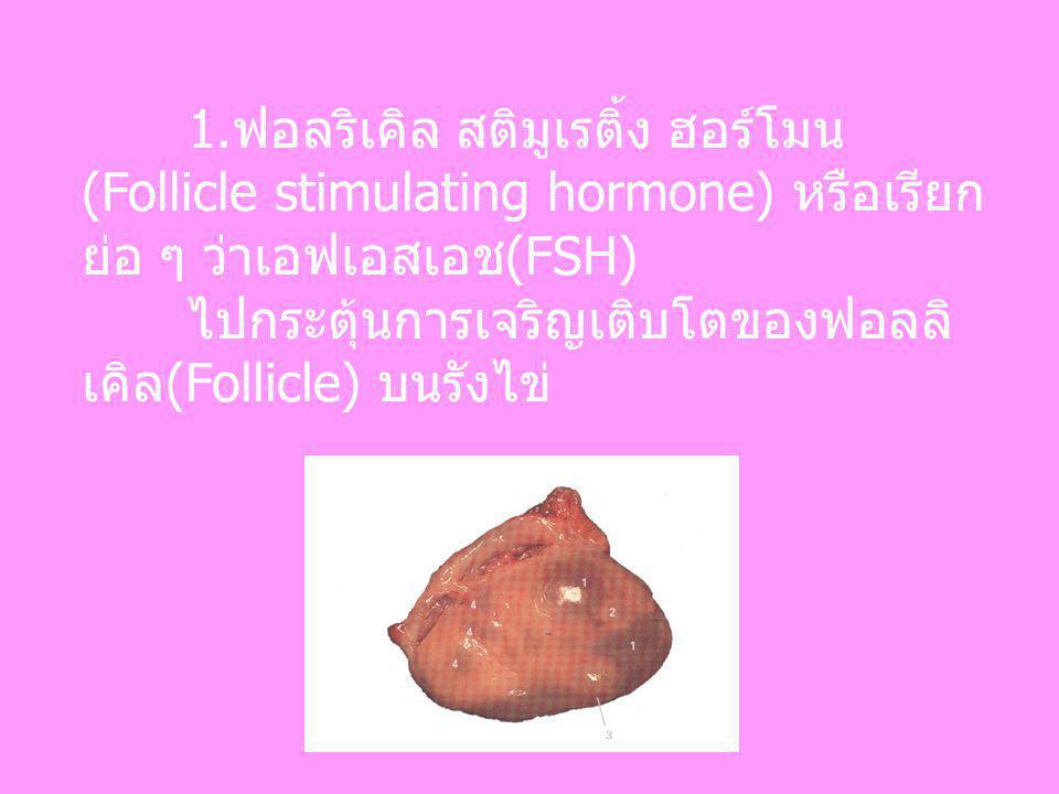 1.ฟอลริเคิล สติมูเรติ้ง ฮอร์โมน (Follicle stimulating hormone) หรือเรียก ย่อ ๆ ว่าเอฟเอสเอช(FSH) ไปกระตุ้นการเจริญเติบโตของฟอลลิ เคิล(Follicle) บนรังไ
