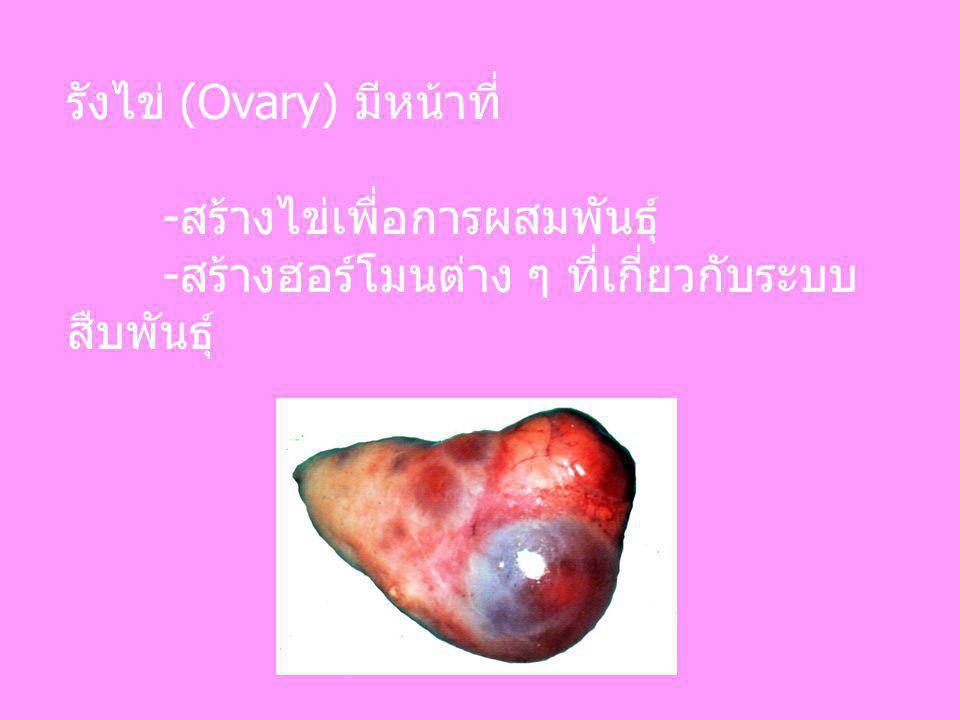 รังไข่ (Ovary) มีหน้าที่ -สร้างไข่เพื่อการผสมพันธุ์ -สร้างฮอร์โมนต่าง ๆ ที่เกี่ยวกับระบบ สืบพันธุ์