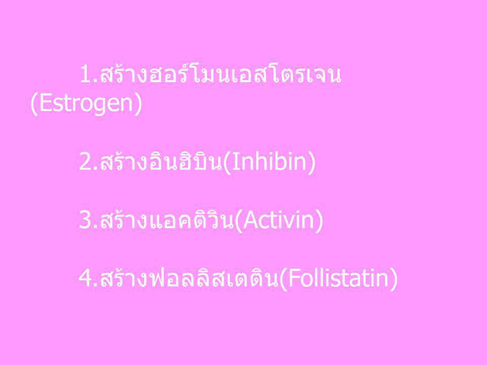 1.สร้างฮอร์โมนเอสโตรเจน (Estrogen) 2.สร้างอินฮิบิน(Inhibin) 3.สร้างแอคติวิน(Activin) 4.สร้างฟอลลิสเตติน(Follistatin)
