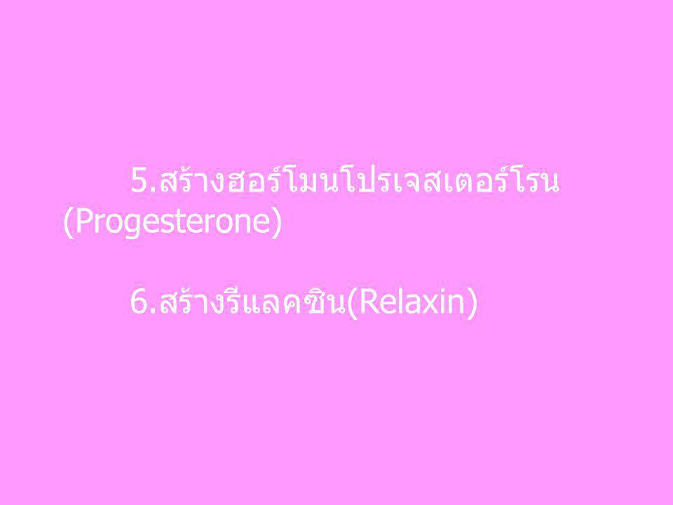 5.สร้างฮอร์โมนโปรเจสเตอร์โรน (Progesterone) 6.สร้างรีแลคซิน(Relaxin)