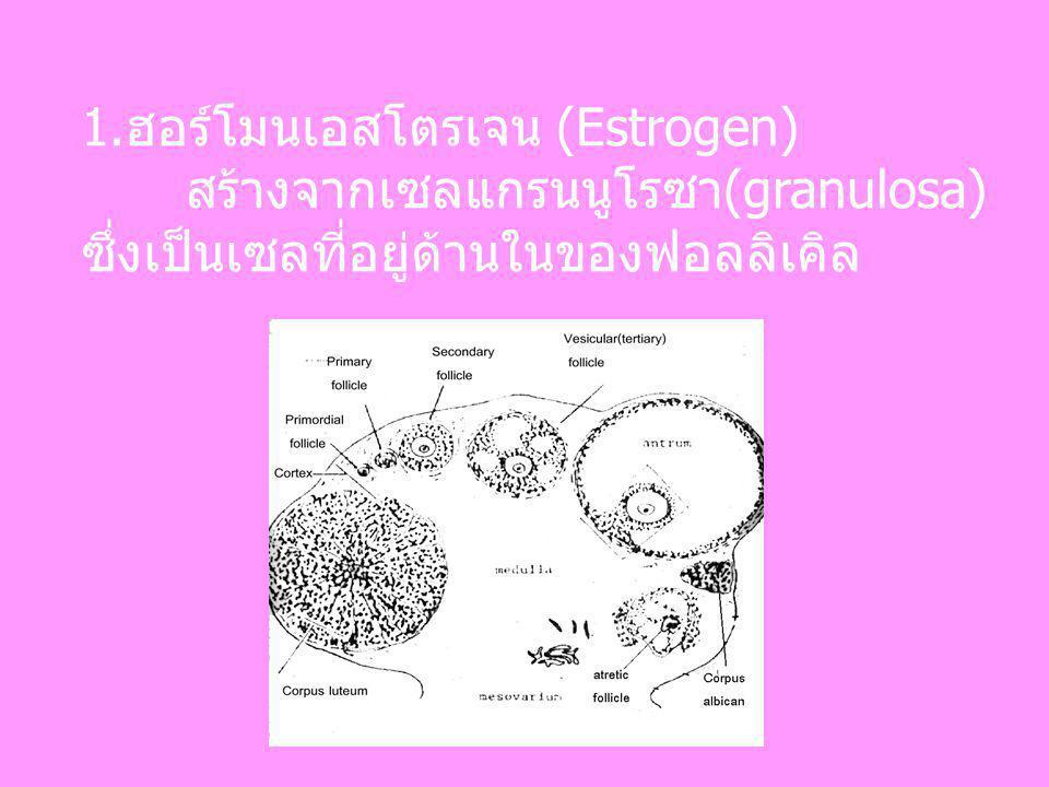 1.ฮอร์โมนเอสโตรเจน (Estrogen) สร้างจากเซลแกรนนูโรซา(granulosa) ซึ่งเป็นเซลที่อยู่ด้านในของฟอลลิเคิล