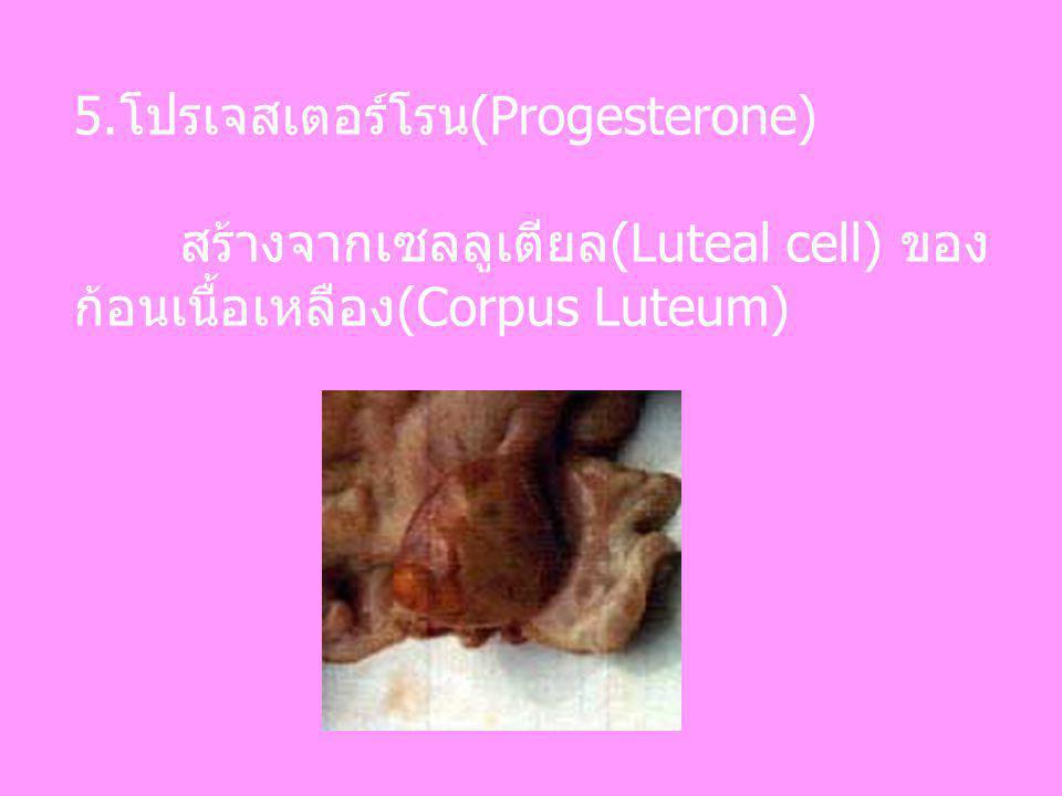 5.โปรเจสเตอร์โรน(Progesterone) สร้างจากเซลลูเตียล(Luteal cell) ของ ก้อนเนื้อเหลือง(Corpus Luteum)