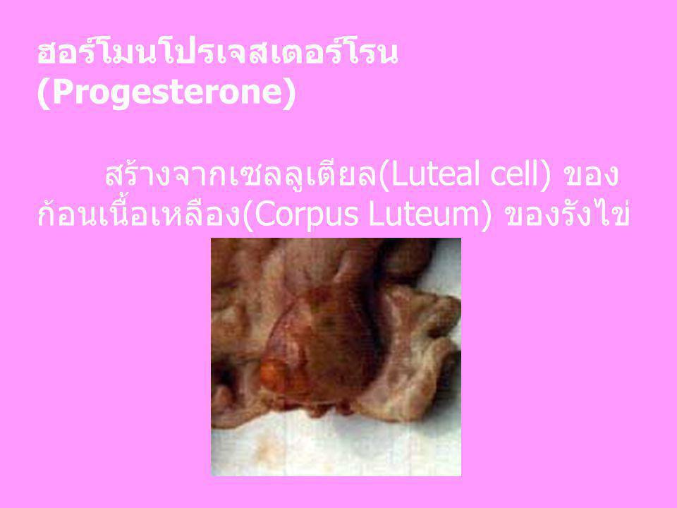 ฮอร์โมนโปรเจสเตอร์โรน (Progesterone) สร้างจากเซลลูเตียล(Luteal cell) ของ ก้อนเนื้อเหลือง(Corpus Luteum) ของรังไข่