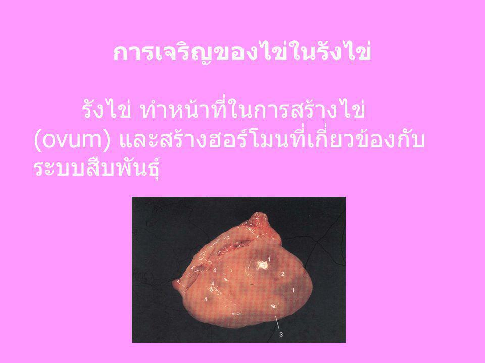 การเจริญของไข่ในรังไข่ รังไข่ ทำหน้าที่ในการสร้างไข่ (ovum) และสร้างฮอร์โมนที่เกี่ยวข้องกับ ระบบสืบพันธุ์