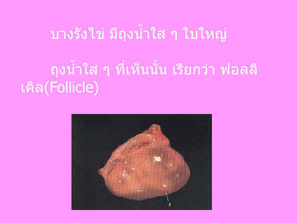 บางรังไข่ มีถุงน้ำใส ๆ ใบใหญ่ ถุงน้ำใส ๆ ที่เห็นนั้น เรียกว่า ฟอลลิ เคิล(Follicle)