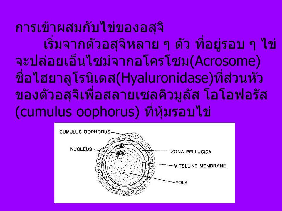 การเข้าผสมกับไข่ของอสุจิ เริ่มจากตัวอสุจิหลาย ๆ ตัว ที่อยู่รอบ ๆ ไข่ จะปล่อยเอ็นไซม์จากอโครโซม(Acrosome) ชื่อไฮยาลูโรนิเดส(Hyaluronidase)ที่ส่วนหัว ของตัวอสุจิเพื่อสลายเซลคิวมูลัส โอโอฟอรัส (cumulus oophorus) ที่หุ้มรอบไข่