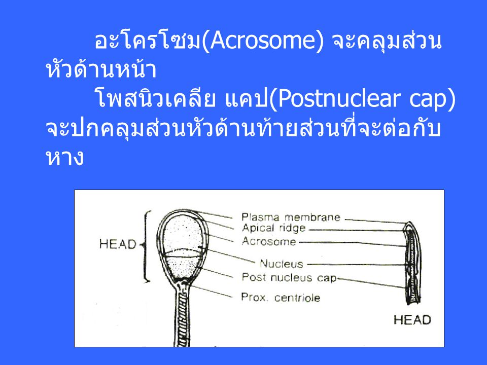 อะโครโซม(Acrosome) จะคลุมส่วน หัวด้านหน้า โพสนิวเคลีย แคป(Postnuclear cap) จะปกคลุมส่วนหัวด้านท้ายส่วนที่จะต่อกับ หาง