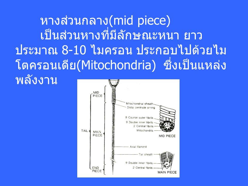 หางส่วนกลาง(mid piece) เป็นส่วนหางที่มีลักษณะหนา ยาว ประมาณ 8-10 ไมครอน ประกอบไปด้วยไม โตครอนเดีย(Mitochondria) ซึ่งเป็นแหล่ง พลังงาน