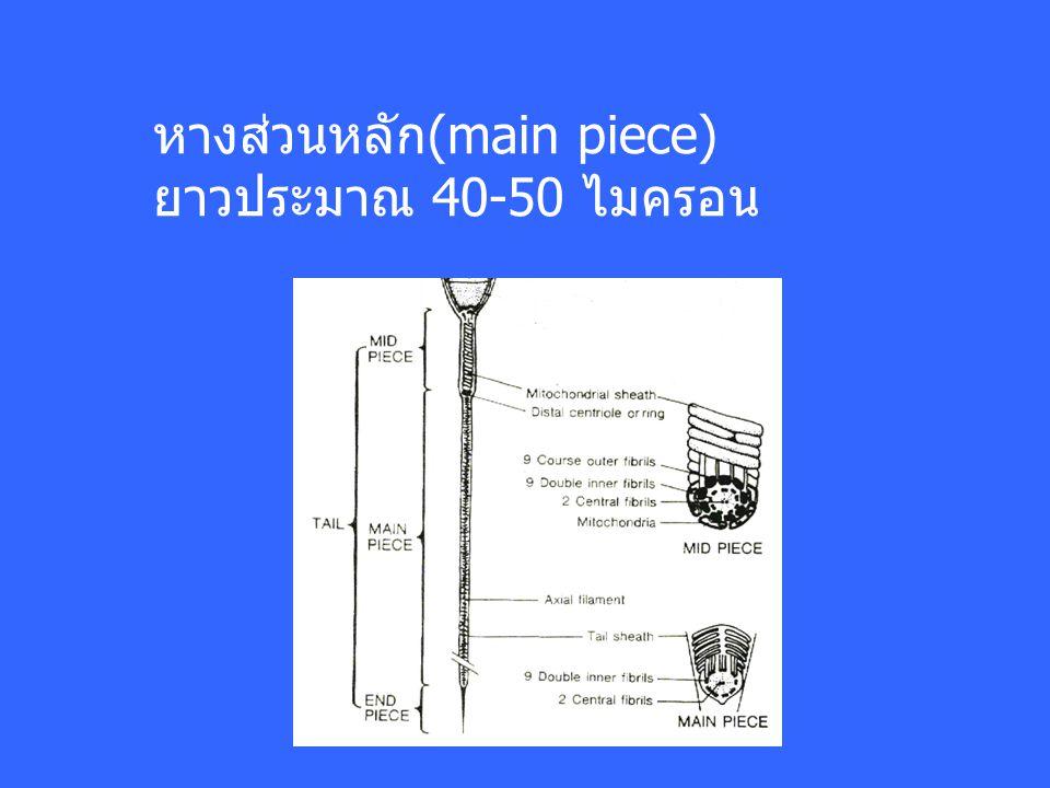 หางส่วนหลัก(main piece) ยาวประมาณ 40-50 ไมครอน