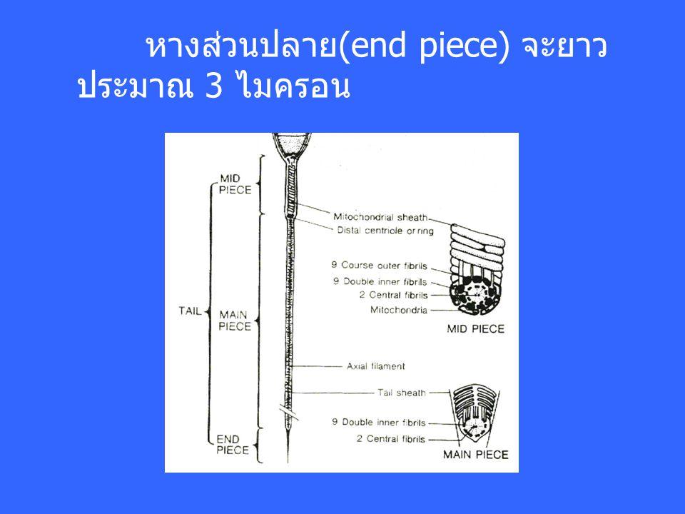 หางส่วนปลาย(end piece) จะยาว ประมาณ 3 ไมครอน