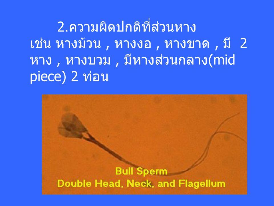 2.ความผิดปกติที่ส่วนหาง เช่น หางม้วน, หางงอ, หางขาด, มี 2 หาง, หางบวม, มีหางส่วนกลาง(mid piece) 2 ท่อน