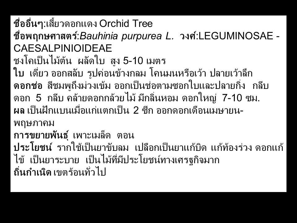 ชื่ออื่นๆ : เสี้ยวดอกแดง Orchid Tree ชื่อพฤกษศาสตร์ :Bauhinia purpurea L. วงศ์ :LEGUMINOSAE - CAESALPINIOIDEAE ชงโคเป็นไม้ต้น ผลัดใบ สูง 5-10 เมตร ใบ