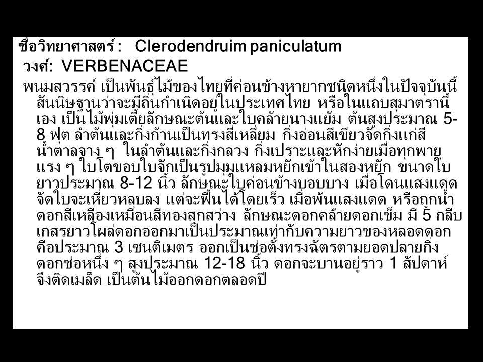 ชื่อวิทยาศาสตร์ : Clerodendruim paniculatum วงศ์: VERBENACEAE พนมสวรรค์ เป็นพันธุ์ไม้ของไทยที่ค่อนข้างหายากชนิดหนึ่งในปัจจุบันนี้ สันนิษฐานว่าจะมีถิ่น