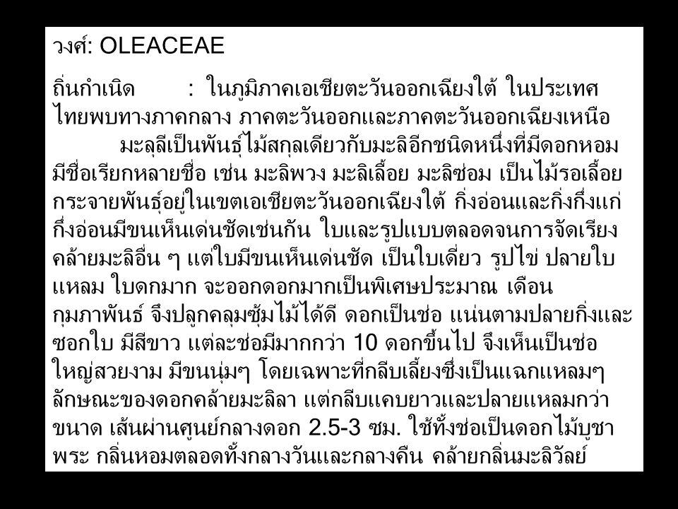 วงศ์: OLEACEAE ถิ่นกำเนิด: ในภูมิภาคเอเชียตะวันออกเฉียงใต้ ในประเทศ ไทยพบทางภาคกลาง ภาคตะวันออกและภาคตะวันออกเฉียงเหนือ มะลุลีเป็นพันธุ์ไม้สกุลเดียวกับมะลิอีกชนิดหนึ่งที่มีดอกหอม มีชื่อเรียกหลายชื่อ เช่น มะลิพวง มะลิเลื้อย มะลิซ่อม เป็นไม้รอเลื้อย กระจายพันธุ์อยู่ในเขตเอเชียตะวันออกเฉียงใต้ กิ่งอ่อนและกิ่งกึ่งแก่ กึ่งอ่อนมีขนเห็นเด่นชัดเช่นกัน ใบและรูปแบบตลอดจนการจัดเรียง คล้ายมะลิอื่น ๆ แต่ใบมีขนเห็นเด่นชัด เป็นใบเดี่ยว รูปไข่ ปลายใบ แหลม ใบดกมาก จะออกดอกมากเป็นพิเศษประมาณ เดือน กุมภาพันธ์ จึงปลูกคลุมซุ้มไม้ได้ดี ดอกเป็นช่อ แน่นตามปลายกิ่งและ ซอกใบ มีสีขาว แต่ละช่อมีมากกว่า 10 ดอกขึ้นไป จึงเห็นเป็นช่อ ใหญ่สวยงาม มีขนนุ่มๆ โดยเฉพาะที่กลีบเลี้ยงซึ่งเป็นแฉกแหลมๆ ลักษณะของดอกคล้ายมะลิลา แต่กลีบแคบยาวและปลายแหลมกว่า ขนาด เส้นผ่านศูนย์กลางดอก 2.5-3 ซม.