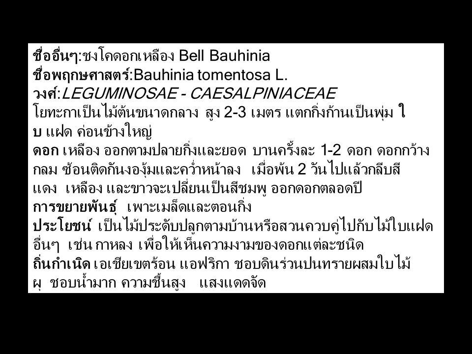 ชื่ออื่นๆ:ชงโคดอกเหลือง Bell Bauhinia ชื่อพฤกษศาสตร์:Bauhinia tomentosa L.