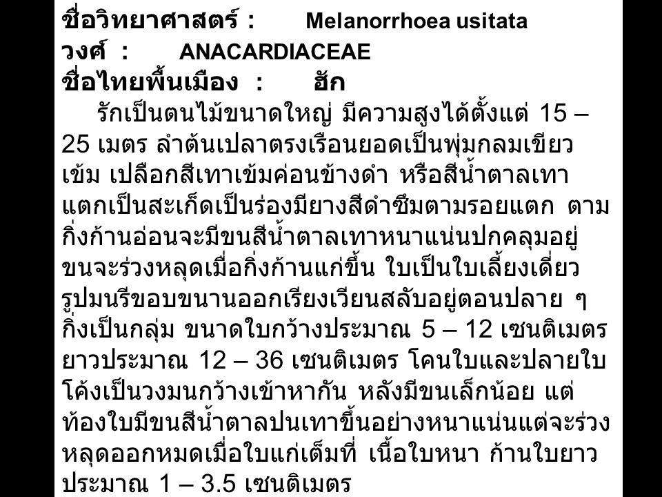 ชื่อวิทยาศาสตร์ : Melanorrhoea usitata วงศ์ : ANACARDIACEAE ชื่อไทยพื้นเมือง : ฮัก รักเป็นตนไม้ขนาดใหญ่ มีความสูงได้ตั้งแต่ 15 – 25 เมตร ลำต้นเปลาตรงเรือนยอดเป็นพุ่มกลมเขียว เข้ม เปลือกสีเทาเข้มค่อนข้างดำ หรือสีน้ำตาลเทา แตกเป็นสะเก็ดเป็นร่องมียางสีดำซึมตามรอยแตก ตาม กิ่งก้านอ่อนจะมีขนสีน้ำตาลเทาหนาแน่นปกคลุมอยู่ ขนจะร่วงหลุดเมื่อกิ่งก้านแก่ขึ้น ใบเป็นใบเลี้ยงเดี่ยว รูปมนรีขอบขนานออกเรียงเวียนสลับอยู่ตอนปลาย ๆ กิ่งเป็นกลุ่ม ขนาดใบกว้างประมาณ 5 – 12 เซนติเมตร ยาวประมาณ 12 – 36 เซนติเมตร โคนใบและปลายใบ โค้งเป็นวงมนกว้างเข้าหากัน หลังมีขนเล็กน้อย แต่ ท้องใบมีขนสีน้ำตาลปนเทาขึ้นอย่างหนาแน่นแต่จะร่วง หลุดออกหมดเมื่อใบแก่เต็มที่ เนื้อใบหนา ก้านใบยาว ประมาณ 1 – 3.5 เซนติเมตร ออกดอกระหว่างเดือนธันวาคมติดต่อกันไปจนถึง เดือนกุมภาพันธ์ จึงค่อยกลายเป็นผล ออกดอกเป็นช่อ ใหญ่ตามง่ามใบปลาย ๆ กิ่ง เป็นดอกสมบูรณ์เพศ กลีบ ดอกมี 5 กลีบ ที่ดอกมีขนสีน้ำตาลปนเทาขึ้นปกคลุม อยู่ด้วยเช่นเดียวกับใบพบขึ้นตามป่าเบญจพรรณแล้ง และป่าดงดิบ