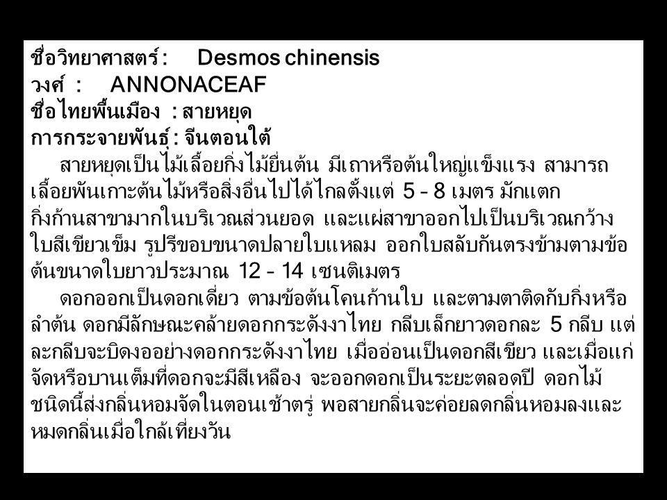 ชื่อวิทยาศาสตร์ : Desmos chinensis วงศ์ : ANNONACEAF ชื่อไทยพื้นเมือง : สายหยุด การกระจายพันธุ์ : จีนตอนใต้ สายหยุดเป็นไม้เลื้อยกิ่งไม้ยื่นต้น มีเถาหรือต้นใหญ่แข็งแรง สามารถ เลื้อยพันเกาะต้นไม้หรือสิ่งอื่นไปได้ไกลตั้งแต่ 5 – 8 เมตร มักแตก กิ่งก้านสาขามากในบริเวณส่วนยอด และแผ่สาขาออกไปเป็นบริเวณกว้าง ใบสีเขียวเข็ม รูปรีขอบขนาดปลายใบแหลม ออกใบสลับกันตรงข้ามตามข้อ ต้นขนาดใบยาวประมาณ 12 – 14 เซนติเมตร ดอกออกเป็นดอกเดี่ยว ตามข้อต้นโคนก้านใบ และตามตาติดกับกิ่งหรือ ลำต้น ดอกมีลักษณะคล้ายดอกกระดังงาไทย กลีบเล็กยาวดอกละ 5 กลีบ แต่ ละกลีบจะบิดงออย่างดอกกระดังงาไทย เมื่ออ่อนเป็นดอกสีเขียว และเมื่อแก่ จัดหรือบานเต็มที่ดอกจะมีสีเหลือง จะออกดอกเป็นระยะตลอดปี ดอกไม้ ชนิดนี้ส่งกลิ่นหอมจัดในตอนเช้าตรู่ พอสายกลิ่นจะค่อยลดกลิ่นหอมลงและ หมดกลิ่นเมื่อใกล้เที่ยงวัน