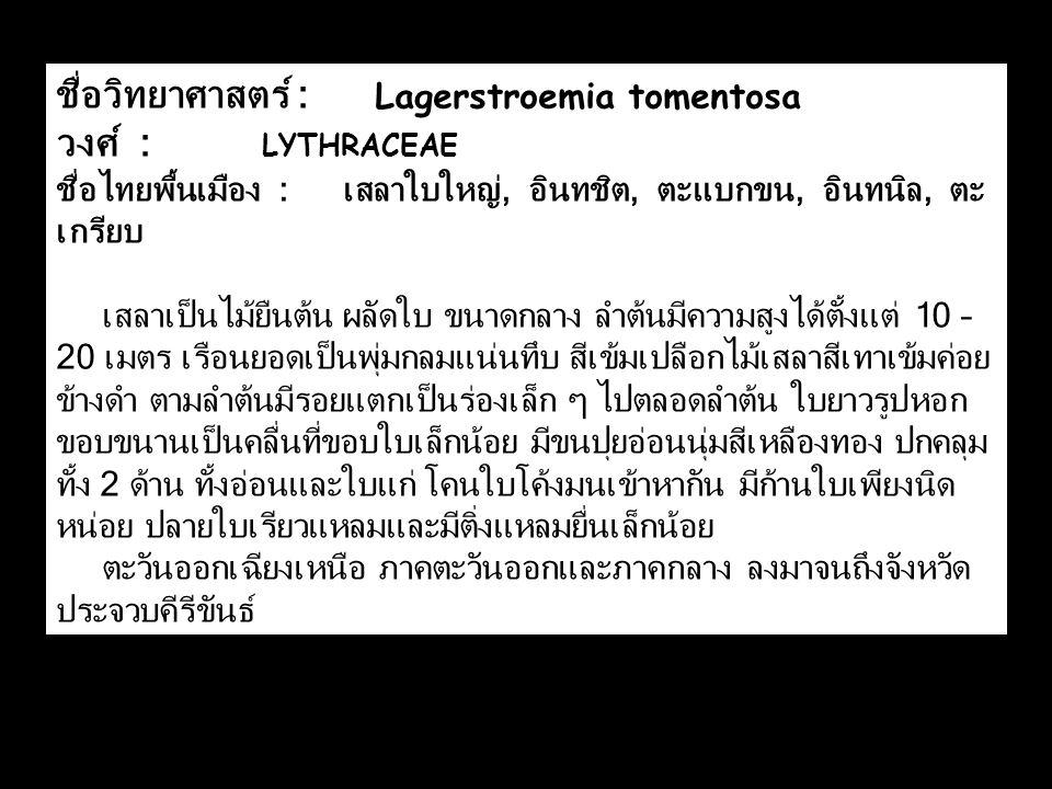 ชื่อวิทยาศาสตร์ : Lagerstroemia tomentosa วงศ์ : LYTHRACEAE ชื่อไทยพื้นเมือง : เสลาใบใหญ่, อินทชิต, ตะแบกขน, อินทนิล, ตะ เกรียบ เสลาเป็นไม้ยืนต้น ผลัด