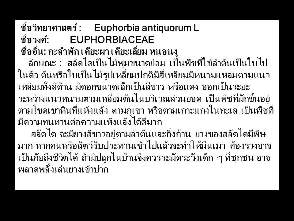 ชื่อวิทยาศาสตร์ : Euphorbia antiquorum L ชื่อวงศ์: EUPHORBIACEAE ชื่ออื่น: กะลำพัก เคียะผา เคียะเลี่ยม หนอนงู ลักษณะ : สลัดไดเป็นไม้พุ่มขนาดย่อม เป็นพืชที่ใช้ลำต้นเป็นใบไป ในตัว ต้นหรือใบเป็นไม้รูปเหลี่ยมปกติมีสี่เหลี่ยมมีหนามแหลมตามแนว เหลี่ยมทั้งสี่ด้าน มีดอกขนาดเล็กเป็นสีขาว หรือแดง ออกเป็นระยะ ระหว่างแนวหนามตามเหลี่ยมต้นในบริเวณส่วนยอด เป็นพืชที่มักขึ้นอยู่ ตามโขดเขาหินที่แห้งแล้ง ตามภูเขา หรือตามเกาะแก่งในทะเล เป็นพืชที่ มีความทนทานต่อความแห้งแล้งได้ดีมาก สลัดได จะมียางสีขาวอยู่ตามลำต้นและกิ่งก้าน ยางของสลัดไดมีพิษ มาก หากคนหรือสัตว์รับประทานเข้าไปแล้วจะทำให้มึนเมา ท้องร่วงอาจ เป็นภัยถึงชีวิตได้ ถ้ามีปลูกในบ้านจึงควรระมัดระวังเด็ก ๆ ที่ซุกซน อาจ พลาดพลั้งเล่นยางเข้าปาก