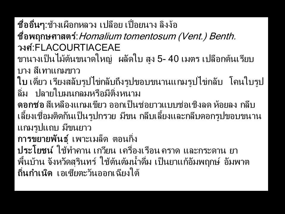 ชื่ออื่นๆ:ช้างเผือกหลวง เปลือย เปื๋อยนาง ลิงง้อ ชื่อพฤกษศาสตร์:Homalium tomentosum (Vent.) Benth.