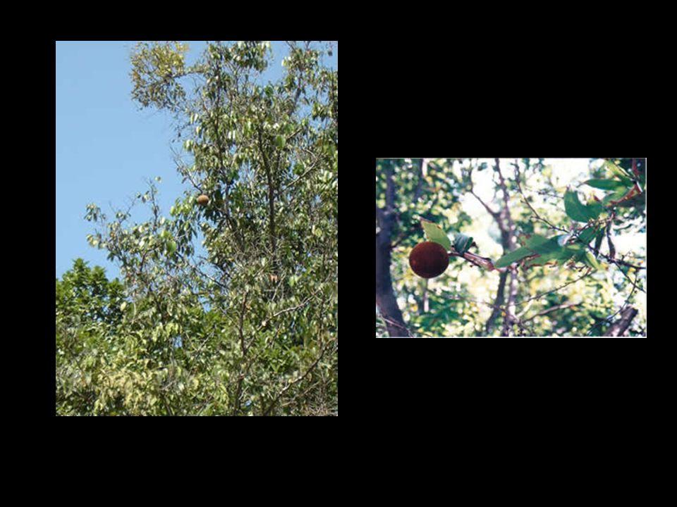 ชื่ออื่นๆ:กว้าว ชื่อพฤกษศาสตร์:Haldina cordifolia (Roxb.) Ridsdale วงศ์:RUBIACEAE ขว้าวเป็นไม้ต้นผลัดใบขนาดใหญ่ ใบ เรียงตรงข้ามสลับตั้งฉาก ใบเดี่ยว ป้อม รูปหัวใจ โคนใบโค้งกว้างและเว้า หยักลึกตรงรอยต่อก้านใบ ปลายใบมน ขอบเรียบ แผ่นใบด้านบนมีขนสาก หู ใบอยู่ระหว่างก้านใบ รูปไข่กว้าง ปลายมน ประกบติดกันเป็นคู่ที่ยอด ร่วงง่าย ช่อดอก แบบช่อกระจุกแน่น รูปทรงกลม เส้นผ่านศูนย์กลางประมาณ 1.1 ซม.