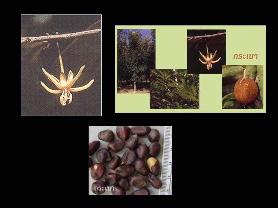 ชื่ออื่นๆ:กระบอก ชื่อพฤกษศาสตร์:Thevetia peruviana Schum.