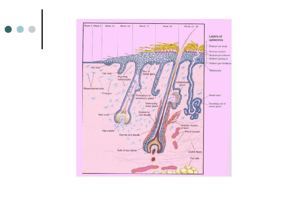 การกำจัดของเสียทางลำไส้ใหญ่ หลังจากการย่อยอาหารเสร็จสิ้นลง อาหาร ส่วนที่เหลือและส่วนที่ร่างกายไม่สามารถย่อยได้จะถูก กำจัดออกจากร่างกายทางลำไส้ใหญ่ ( ทวารหนัก ) ในรูป รวมที่เรียกว่า อุจจาระ ถ้าอุจจาระตกค้างอยู่ในลำไส้ใหญ่หลายวัน ผนัง ลำไส้ใหญ่จะดูดน้ำกลับเข้าไปในเส้นเลือด ทำให้ อุจจาระแข็งเกิดความยากในการขับถ่ายเรียกว่า ท้องผูก