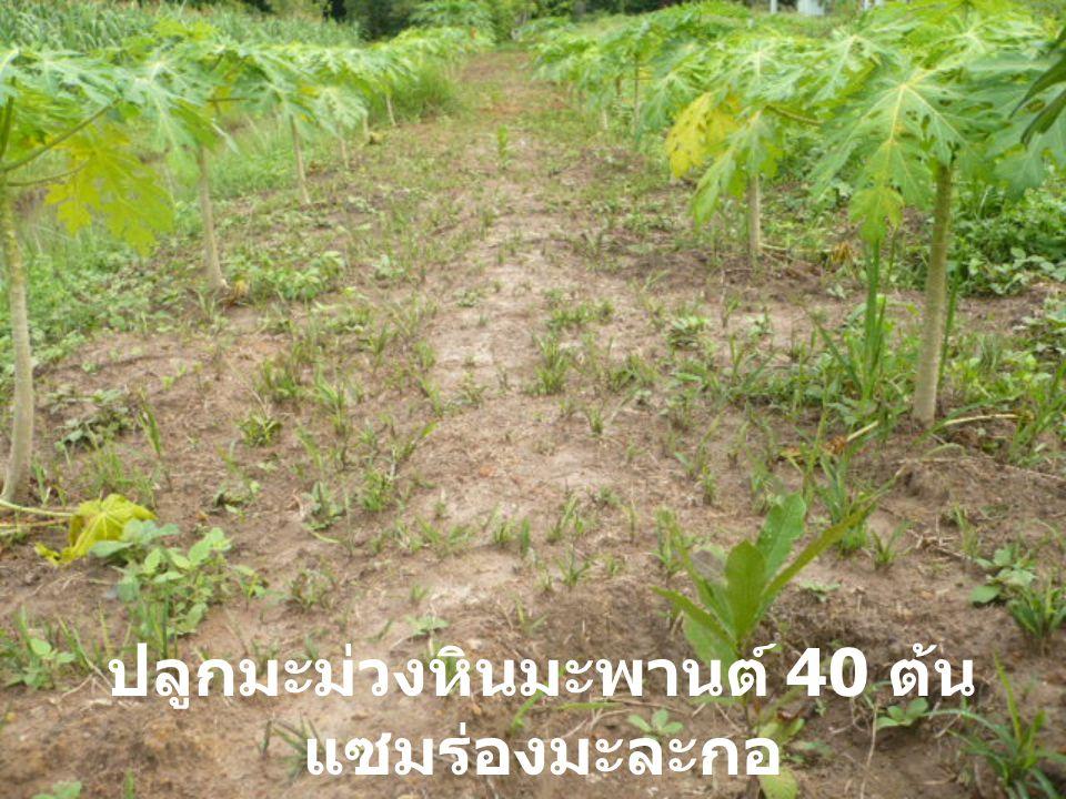 ปลูกมะม่วงหินมะพานต์ 40 ต้น แซมร่องมะละกอ