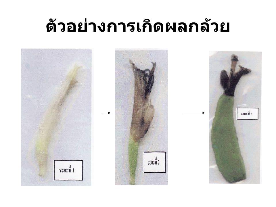 ตัวอย่างการเกิดผลกล้วย
