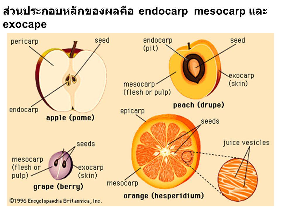 ส่วนประกอบหลักของผลคือ endocarp mesocarp และ exocape
