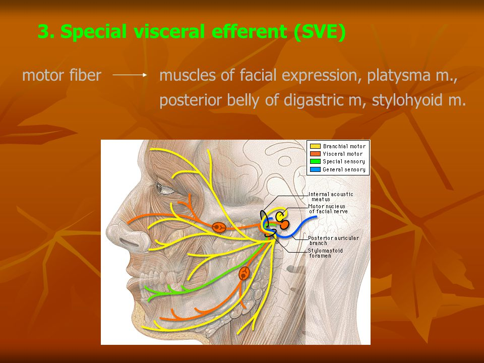 motor fibermuscles of facial expression, platysma m., posterior belly of digastric m, stylohyoid m. 3. Special visceral efferent (SVE)
