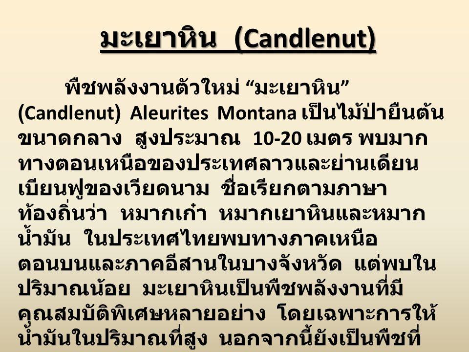 """มะเยาหิน (Candlenut) พืชพลังงานตัวใหม่ """" มะเยาหิน """" (Candlenut) Aleurites Montana เป็นไม้ป่ายืนต้น ขนาดกลาง สูงประมาณ 10-20 เมตร พบมาก ทางตอนเหนือของป"""
