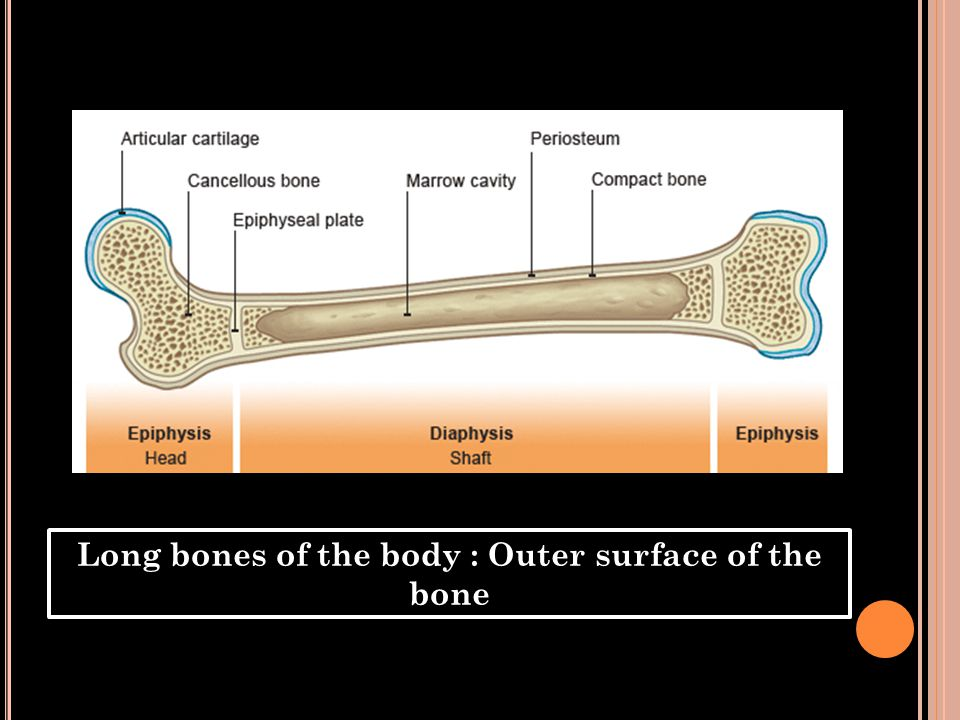Long bones of the body : Outer surface of the bone