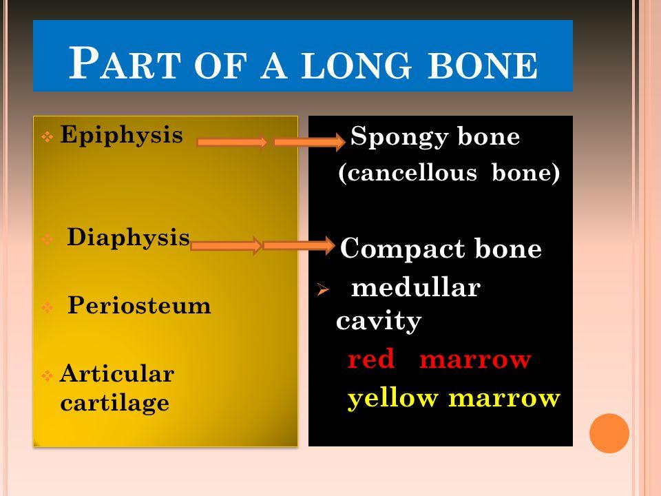 P ART OF A LONG BONE  Epiphysis  Diaphysis  Periosteum  Articular cartilage  Epiphysis  Diaphysis  Periosteum  Articular cartilage Spongy bone
