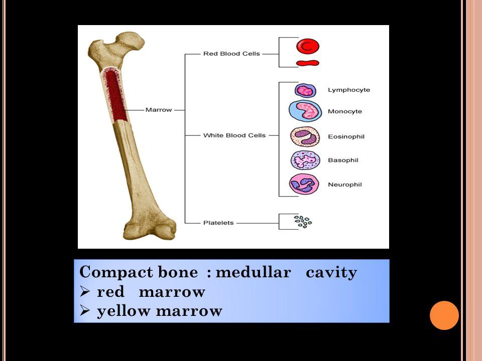 Compact bone : medullar cavity  red marrow  yellow marrow Compact bone : medullar cavity  red marrow  yellow marrow