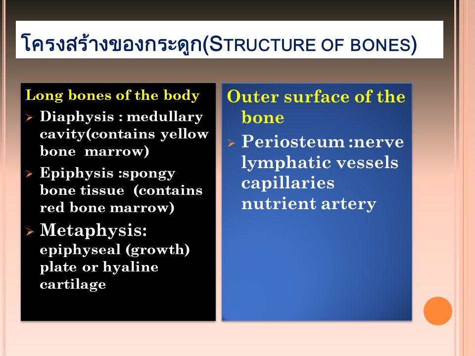 โครงสร้างของกระดูก(S TRUCTURE OF BONES ) Long bones of the body  Diaphysis : medullary cavity(contains yellow bone marrow)  Epiphysis :spongy bone t