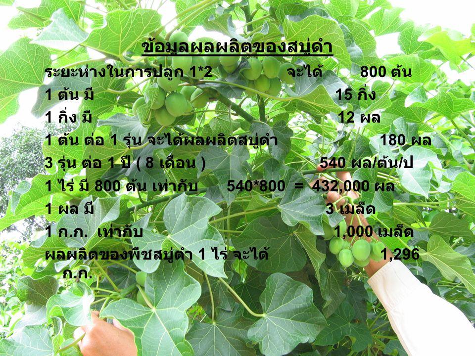 ข้อมูลผลผลิตของสบู่ดำ ระยะห่างในการปลูก 1*2 จะได้ 800 ต้น 1 ต้น มี 15 กิ่ง 1 กิ่ง มี 12 ผล 1 ต้น ต่อ 1 รุ่น จะได้ผลผลิตสบู่ดำ 180 ผล 3 รุ่น ต่อ 1 ปี ( 8 เดือน ) 540 ผล / ต้น / ป 1 ไร่ มี 800 ต้น เท่ากับ 540*800 = 432,000 ผล 1 ผล มี 3 เมล็ด 1 ก.