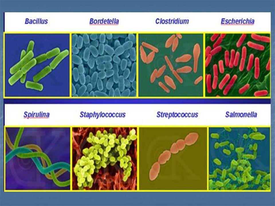 - spiral เช่น กลุ่ม spirochete ได้แก่ Treponema, Borrelia, Leptospira 3) การเรียงตัวของเซลล์ - single - คู่ pairs เช่น Neisseria อยู่เป็นคู่เรียก diplococci - สาย chain - กลุ่ม cluster