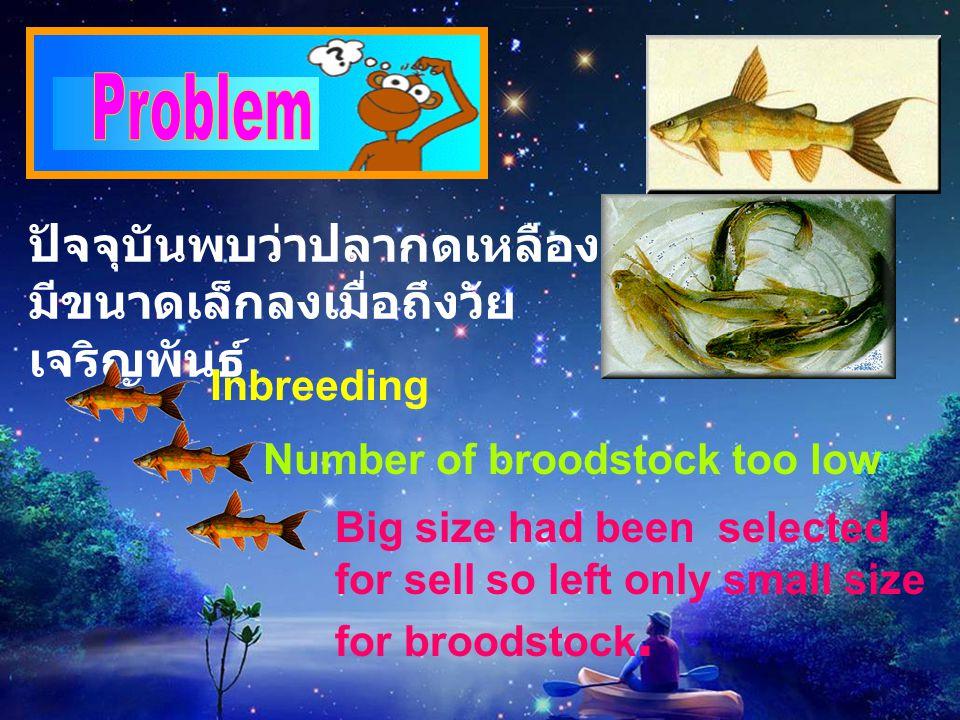 ปัจจุบันพบว่าปลากดเหลือง มีขนาดเล็กลงเมื่อถึงวัย เจริญพันธุ์ Inbreeding Number of broodstock too low Big size had been selected for sell so left only small size for broodstock.
