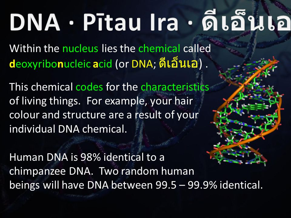 Within the nucleus lies the chemical called deoxyribonucleic acid (or DNA; ดีเอ็นเอ ).