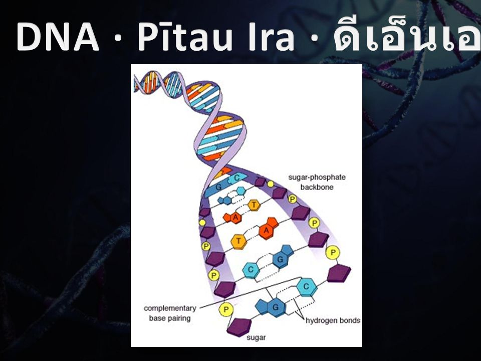 There are only four bases found in DNA: (A) Adenine; อะดีนีน (T) Thymine; เบสไทมีน (C) Cytosine; เบสไซโตซีน (G) Guanine; เบสกัวนีน Even though there are only four bases, the DNA strand consists of millions of individual bases paired up to form a DNA molecule.