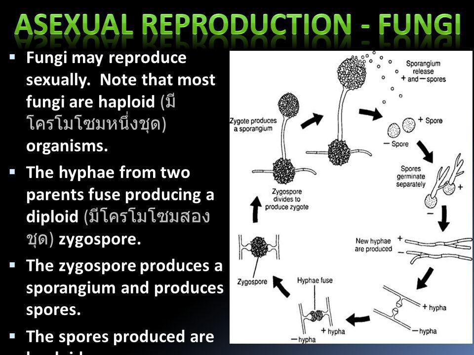  Fungi may reproduce sexually. Note that most fungi are haploid ( มี โครโมโซมหนึ่งชุด ) organisms.