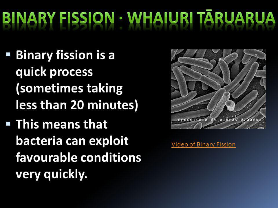  Binary fission is a quick process (sometimes taking less than 20 minutes)  This means that bacteria can exploit favourable conditions very quickly.