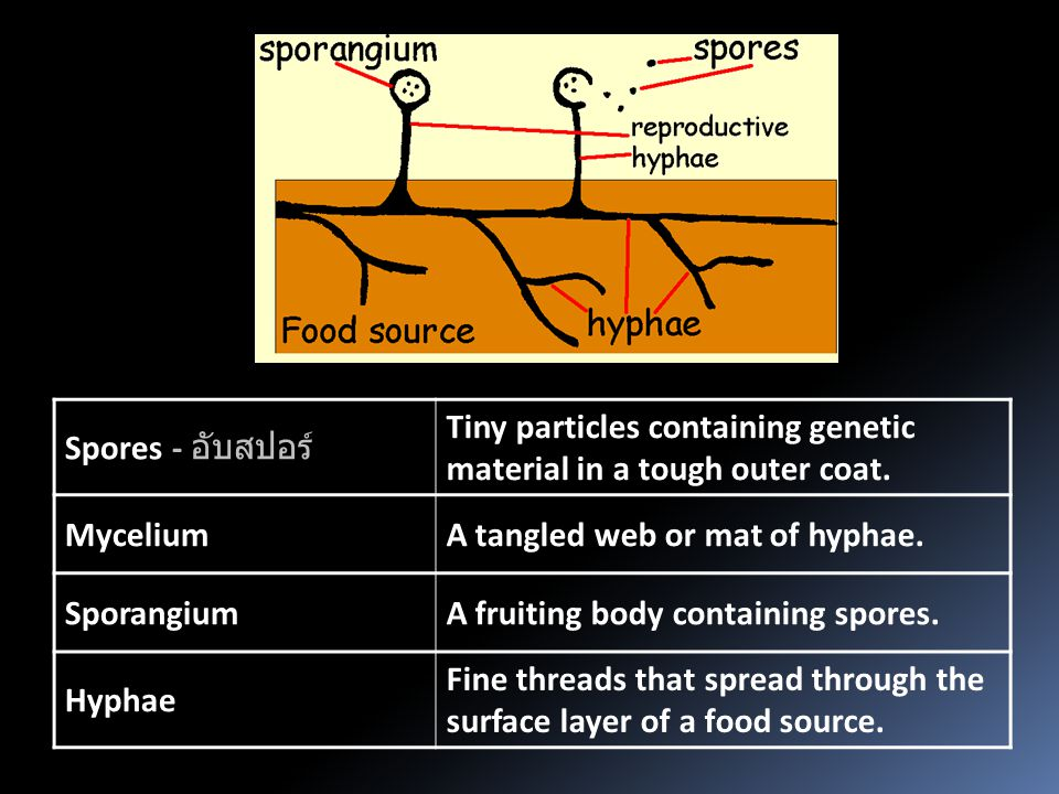 Spores - อับสปอร์ Tiny particles containing genetic material in a tough outer coat. MyceliumA tangled web or mat of hyphae. SporangiumA fruiting body