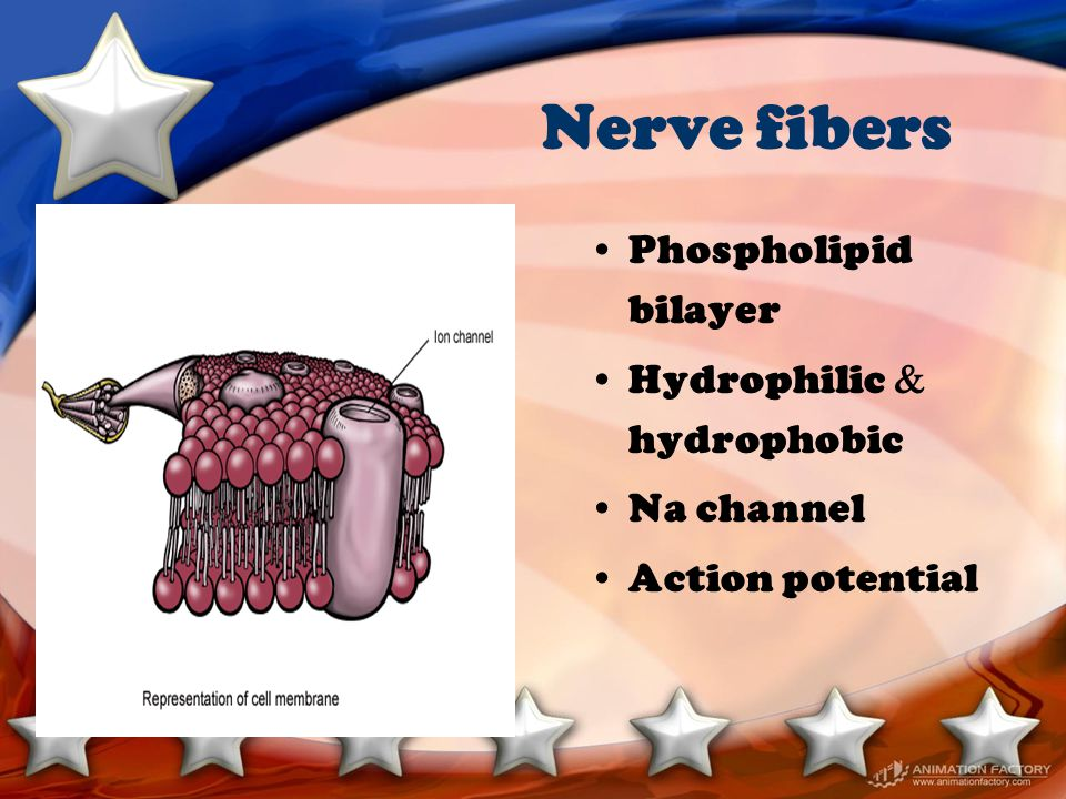 Nerve conduction Resting membrane potential Rapid depolarization Repolarization